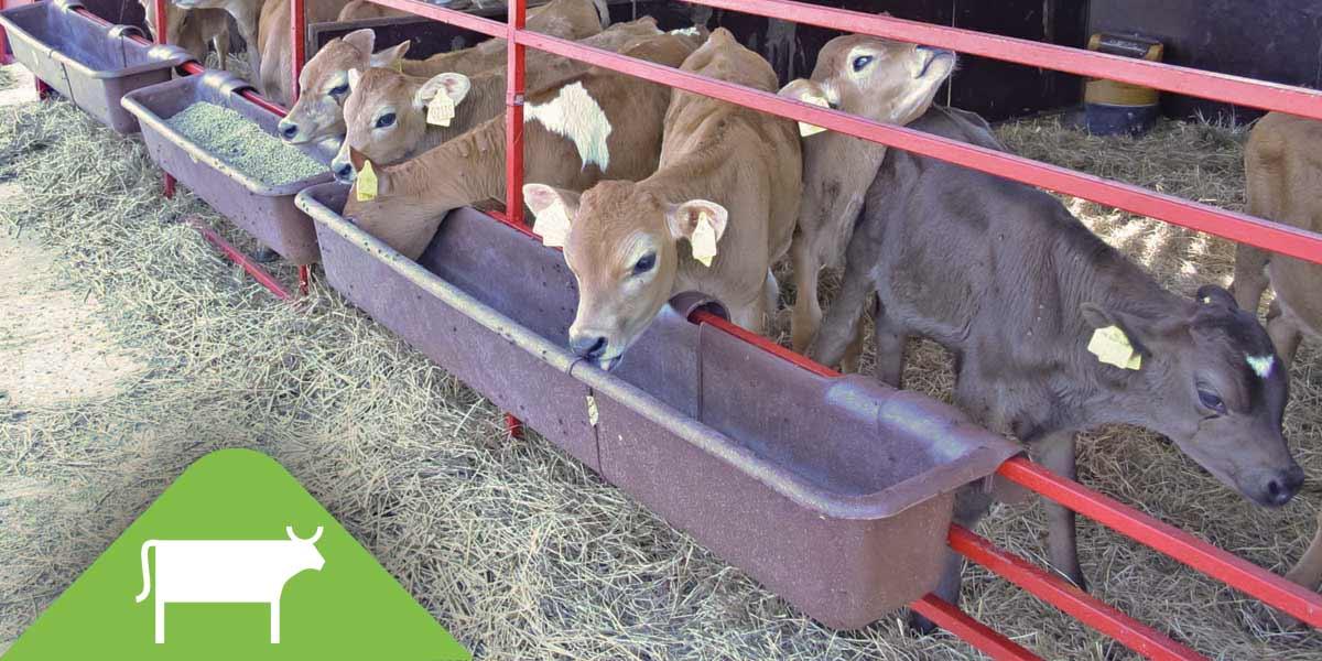 Cattle / Calf